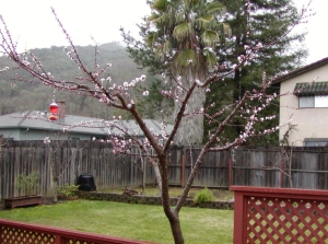 Apricot tree - after winter pruning, beginning to bloom